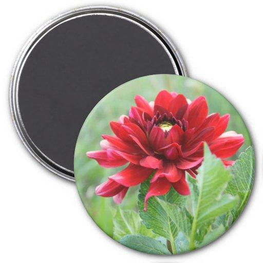 Large, 3 Inch Round Magnet (Red Dahlia Flower) Fridge Magnets