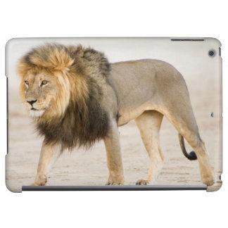 Large Black Maned Lion (Panthera Leo) Walks