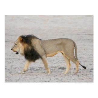 Large Black Maned Lion (Panthera Leo) Walks 2 Postcard