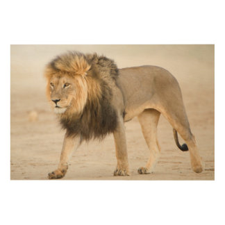 Large Black Maned Lion (Panthera Leo) Walks Wood Print