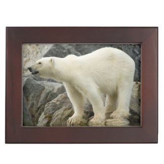 Large boar along a rocky coast in summer keepsake box