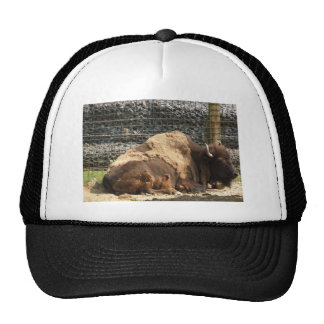 Large Brown Bison At Rest In Zoo America, Hershey, Hats