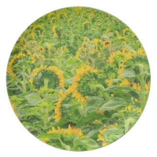 Large field of sunflowers near Moses Lake, WA 3 Plate