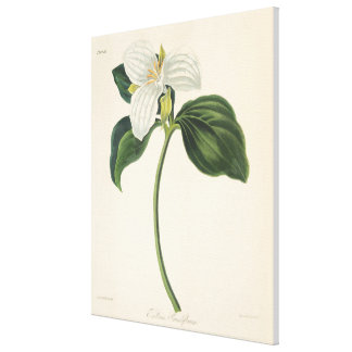 Large Flowered Trillium Canvas Print