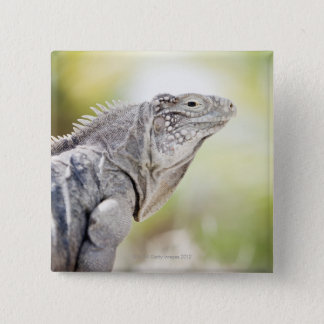 Large green Iguana basking in the sun in the 15 Cm Square Badge