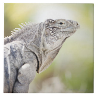 Large green Iguana basking in the sun in the Large Square Tile