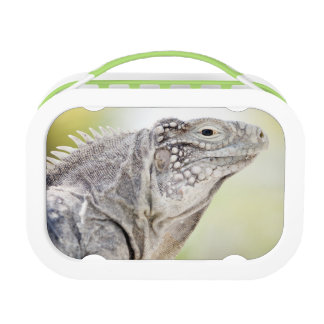 Large green Iguana basking in the sun in the Lunchboxes
