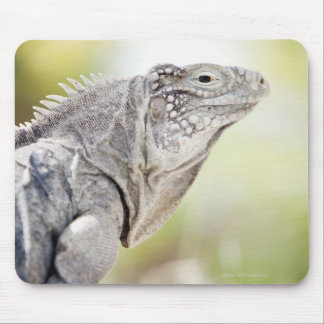 Large green Iguana basking in the sun in the Mouse Mat