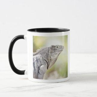 Large green Iguana basking in the sun in the Mug
