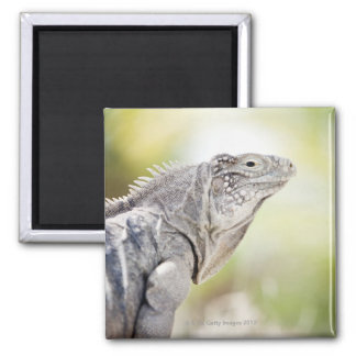 Large green Iguana basking in the sun in the Square Magnet