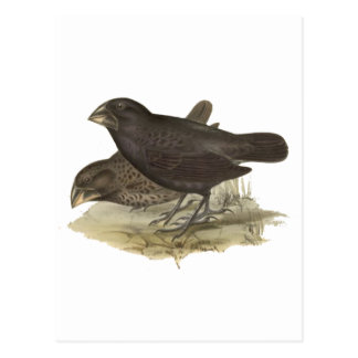 Large Ground Finch Postcards