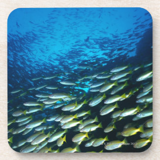 Large group of Bigeye Snapper fish swimming Coaster