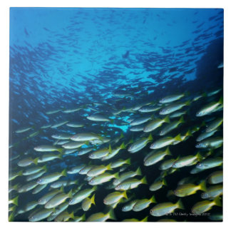 Large group of Bigeye Snapper fish swimming Tile
