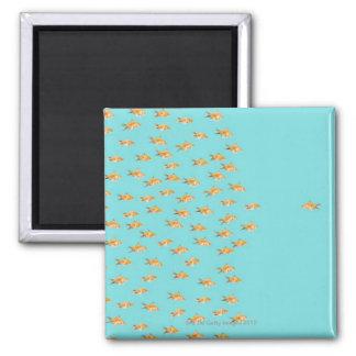 Large group of goldfish facing one lone goldfish square magnet