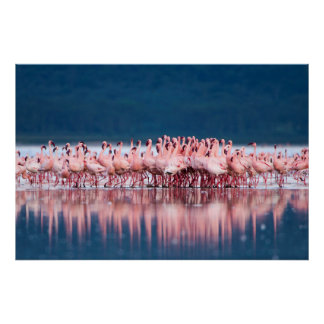 Large Group Of Lesser Flamingos Poster