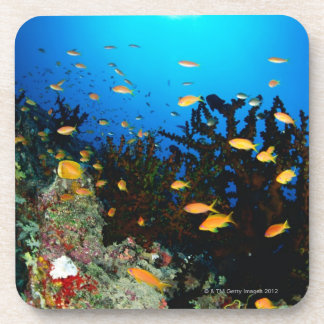 Large group of Sea Goldie fish swimming Drink Coaster