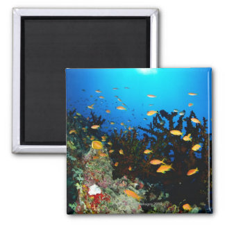 Large group of Sea Goldie fish swimming Magnet