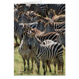 Large herd of Burchell's Zebra Card