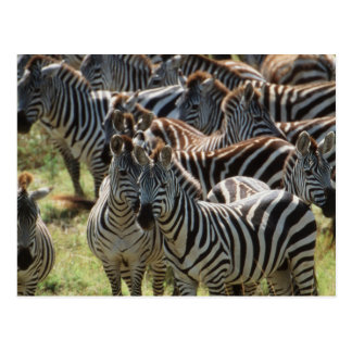 Large herd of Burchell's Zebra Postcard