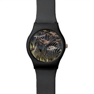 Large herd of Burchell's Zebra Watch