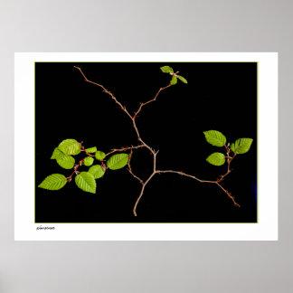 Large Korean Hornbeam bonsai Poster
