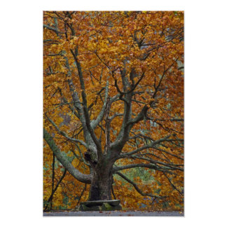 Large maple tree in autumn, Bass Lake, near Poster