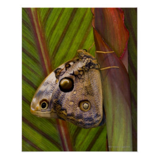 Large owlet Butterfly (Opsiphanes tamarindi) Poster