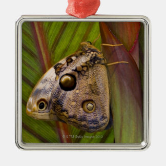 Large owlet Butterfly (Opsiphanes tamarindi) Silver-Colored Square Decoration