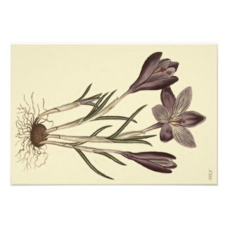 Large Purple Spring Crocus Botanical Illustration Photo Art