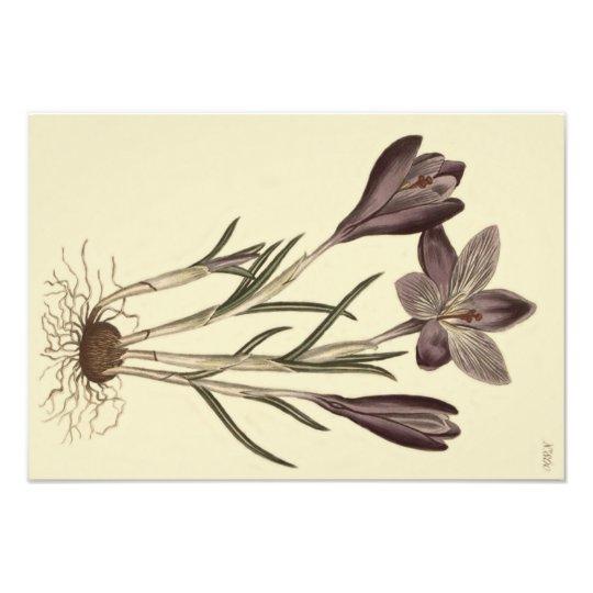 Large Purple Spring Crocus Botanical Illustration Photo Print