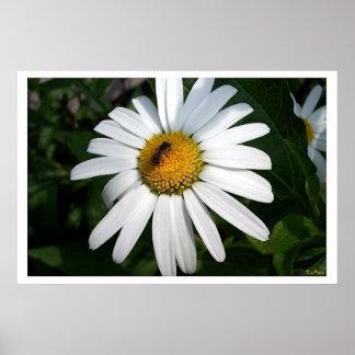 Large Shasta Daisy Print