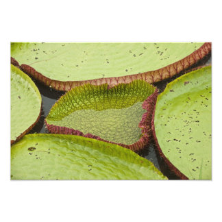 Largest lily, the Giant Amazon Water Lily Photographic Print