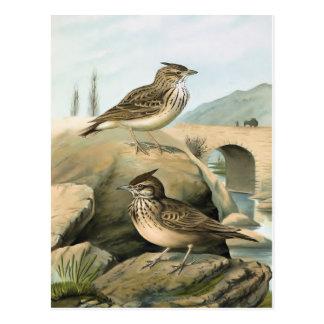 Larks Vintage Bird Illustration Postcards