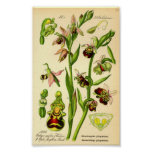 Late Spider Orchid (Ophrys fuciflora) Poster
