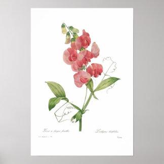 Lathyrus latifolius print