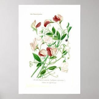 Lathyrus odoratus poster