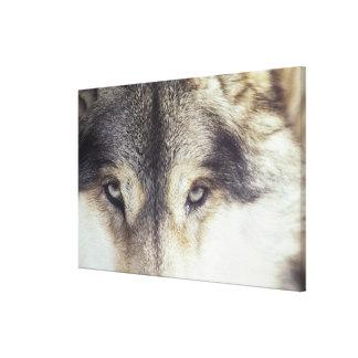 Latin name: Canis Lupus Canvas Print