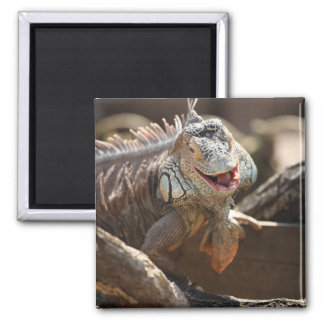 Laughing Iguana Photo Magnet