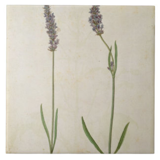 Lavandula officinalis (Old English Lavender), c.15 Tile