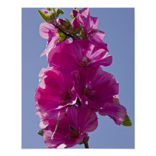 Lavatera, also known as Tree Mallow. Poster
