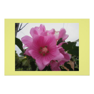 Lavatera Flower Poster