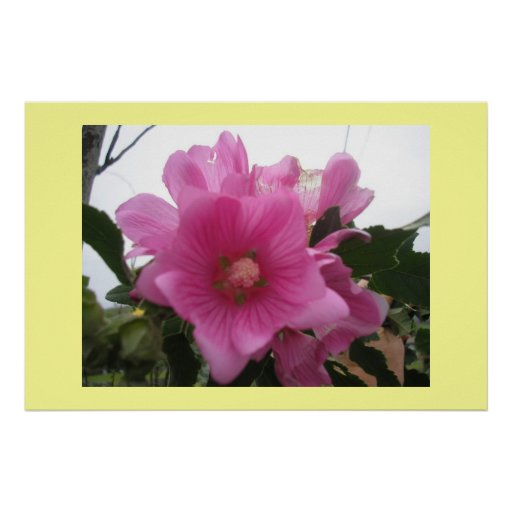 Lavatera Flower Posters