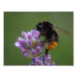 Lavender bee 1 photo print