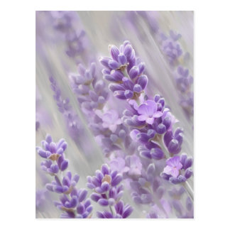 Lavender dreams. postcard