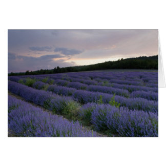 Lavender field at sunset card