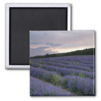 Lavender field at sunset magnet