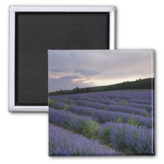 Lavender field at sunset magnet