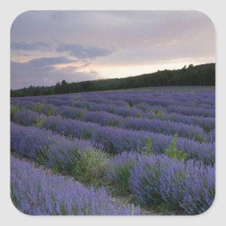 Lavender field at sunset square sticker