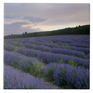 Lavender field at sunset tile
