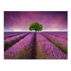 Lavender Field Landscape Summer Sunset Postcard